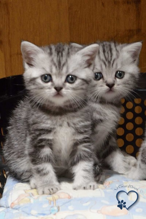 2 chatons british shorthair observant le photographe